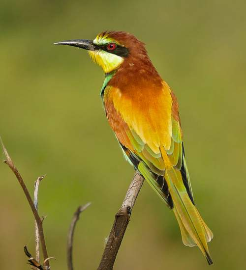 Indian birds - Picture of European bee-eater - Merops apiaster