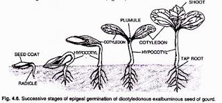 Gambar Perkecambahan Epigeal dan Hipogeal