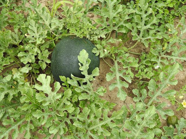 liście arbuza mają ciekawy, bardzo powcinany kształt