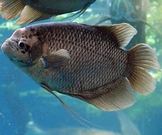 Ikan Gurame - Cianjur Update