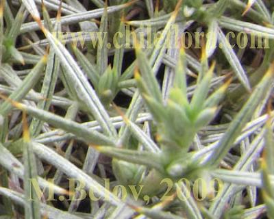 Mata guanaco Anarthrophyllum desideratum