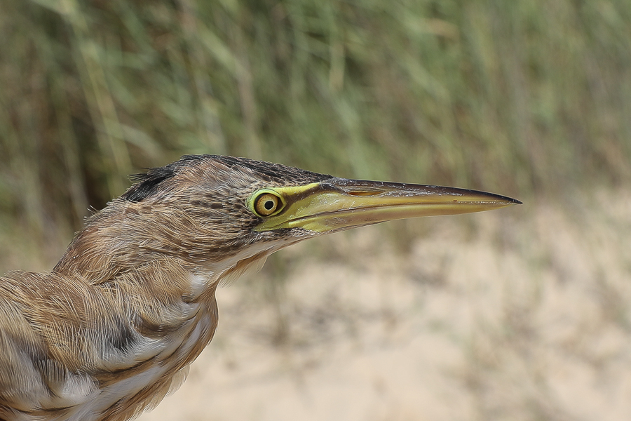 Little Bittern - adult female