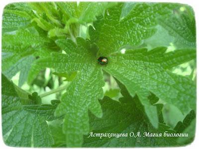 зеленый жук листоед на листьях