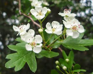 Estepa (Cistus creticus) flor silvestre rosa