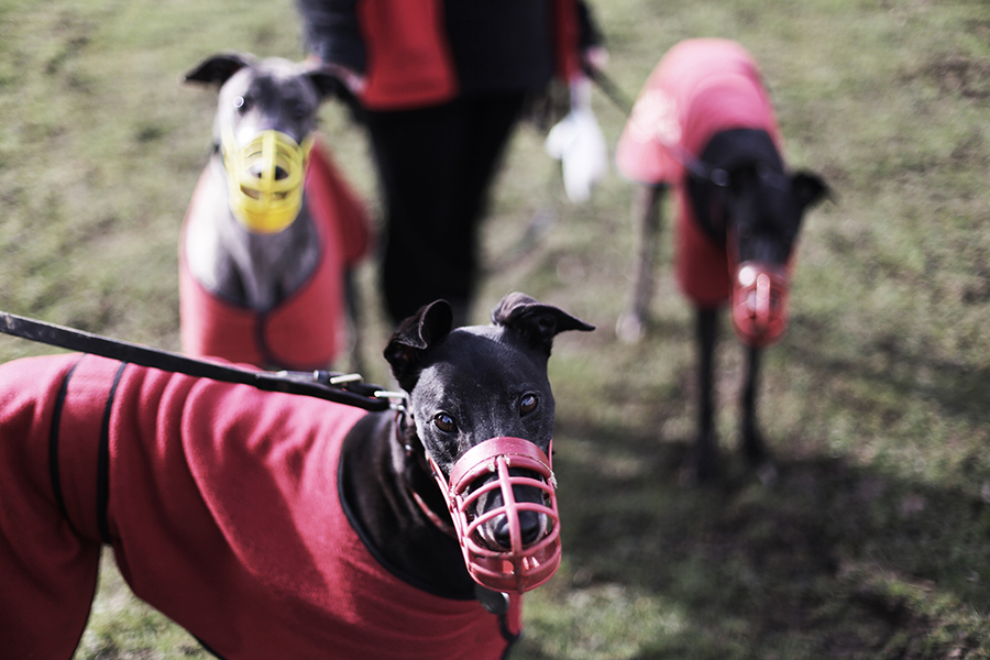 A day at the Retired Greyhound Trust in Brentwood, Essex