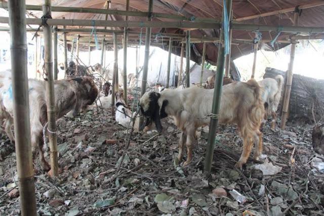 3 Hal yang harus diperhatikan dalam memilih hewan kurban