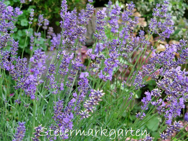 Lavendel-Steiermarkgarten