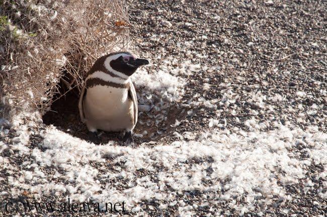 las plumas de los pingüinos por se encuentran por toda la pingüinera