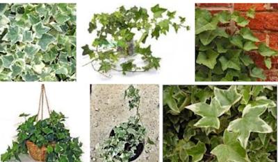 contoh Tanaman Ivy