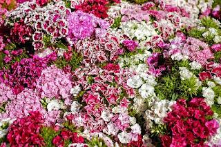 carnation-flower,www.healthnote25.com