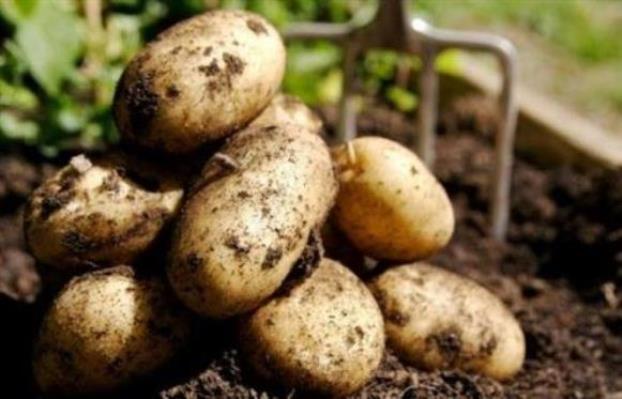 بسعر 300 ليرة السورية للتجارة بالسويداء توزيع 120 طنا من البطاطا