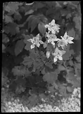Akelei, Glasnegativ 1930-1942