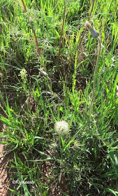 sugarbowls, Clematis hirsutissima