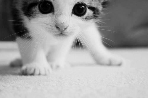 gatito mirada fija acechando