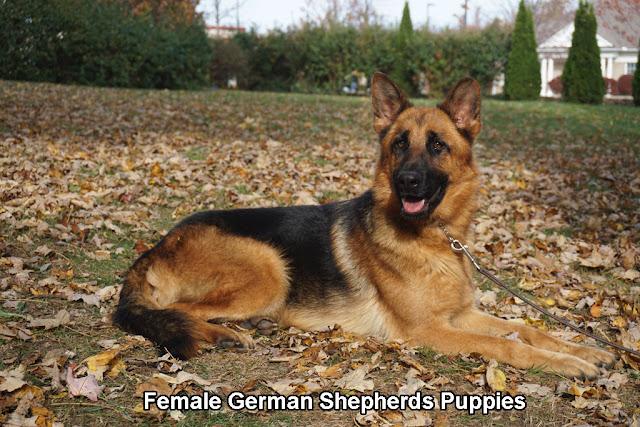 Female German Shepherds Puppies