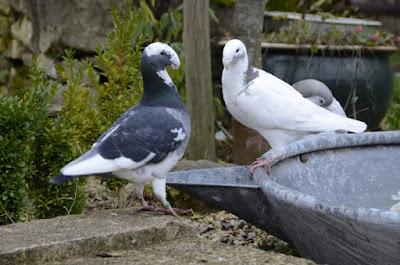 Pigeon de beauté Allemand - Deutsche Schautaube