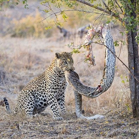 A brave leopard catches and eats a giant python!