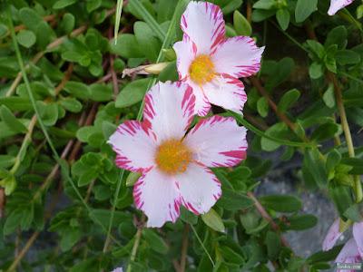 白に桃色の花