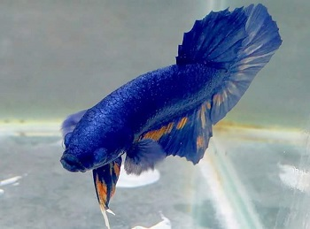 Ikan Cupang Yellow Koi