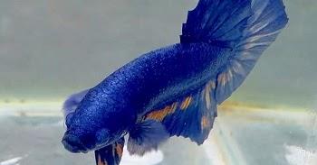 Harga Ikan Cupang Murah di Tangerang | 1 Quimi