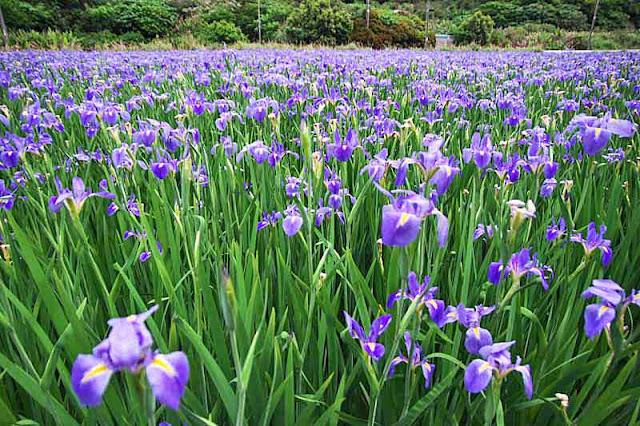 Iris field with forest in background