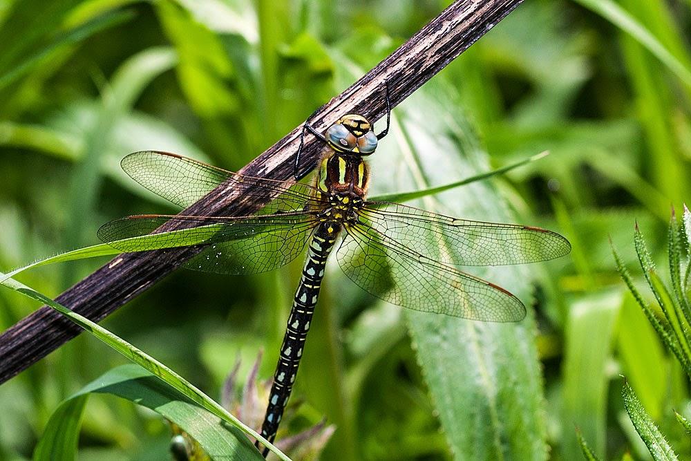 Hairy Dragonfly (Brachytron pratense), Photographed in Bancroft Park, Milton Keynes, 2014
