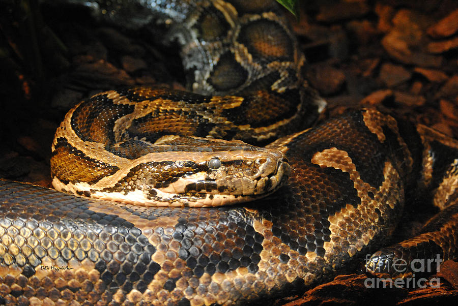 Snakes Eating Cows Snakes: Burmese Python