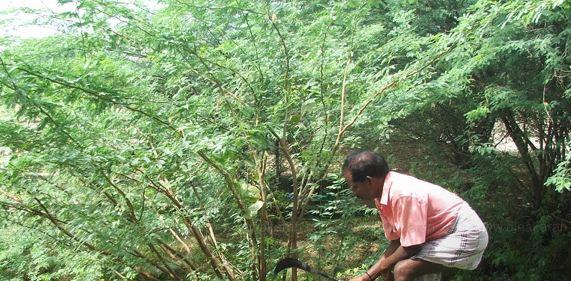 13 மாவட்ட தலை நகரங்களில் உள்ள சீமை கருவேல மரங்களை அகற்ற உத்தரவு