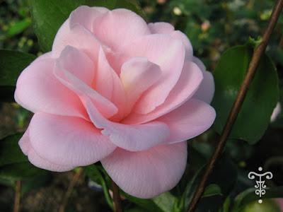 Scrapretty la fleur manon - Camelia prenom ...