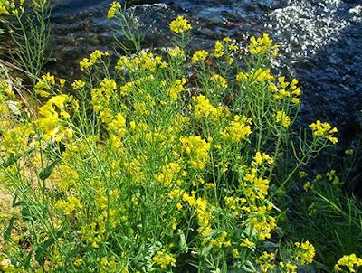 Nabo (Brassica napus)flor silvestre amarilla