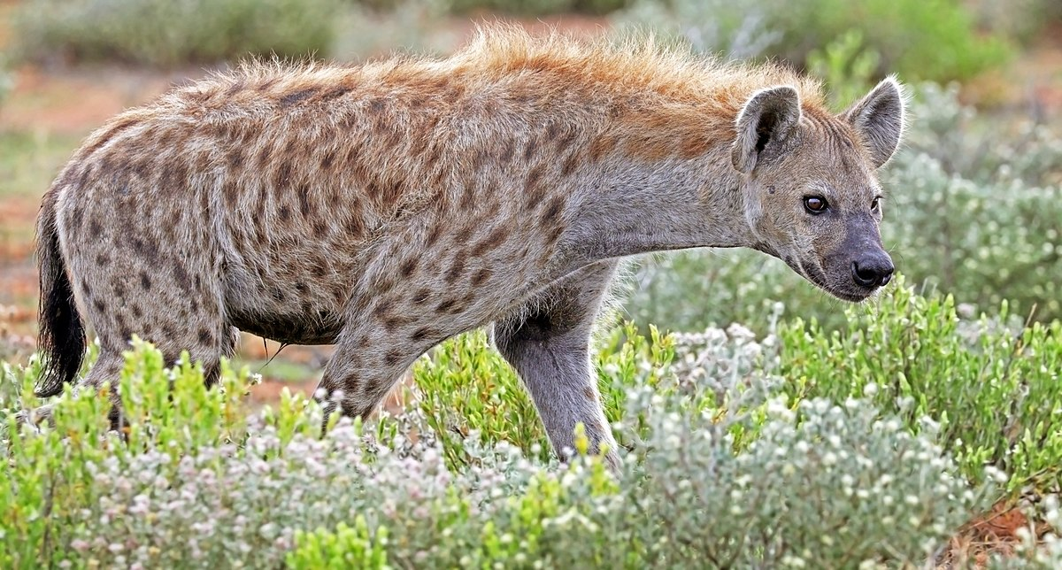 Hyena Snatches And Kills Six Year Old In Buhera