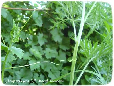 усики растений, переступень, полынь