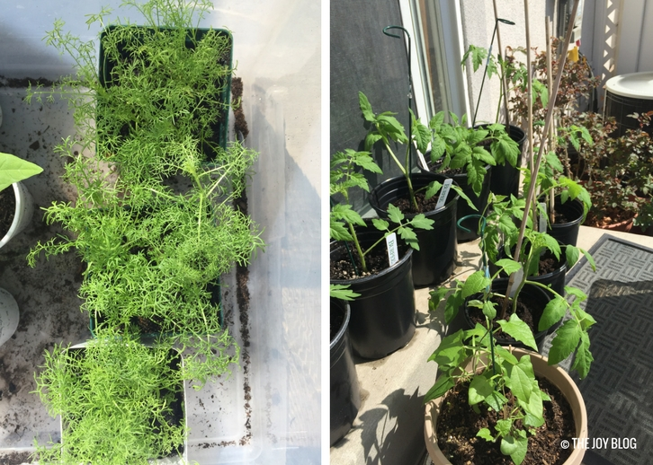 German chamomile and tomato seedlings // www.thejoyblog.net