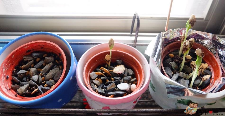 南瓜種籽盆栽