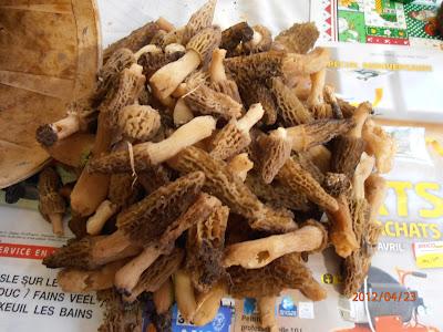 Une cueillette de 95 morilles coniques, Morchella elata, réalisée ce lundi 23 avril 2012