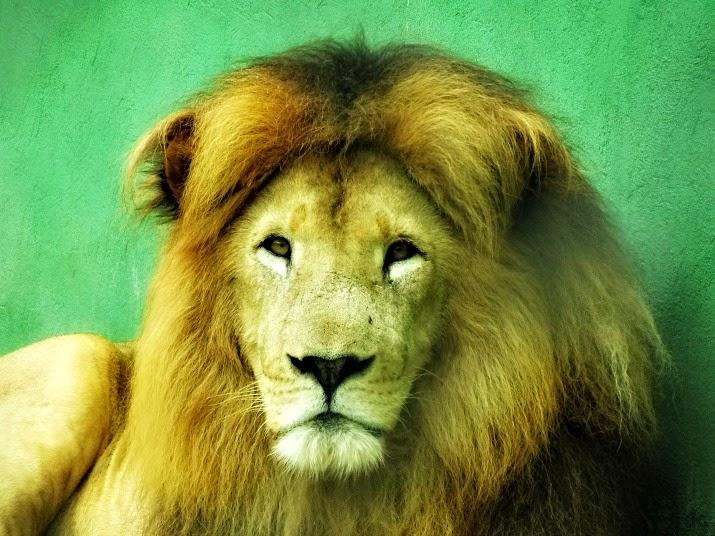 Leão no Zoológico de Balneário Camboriú