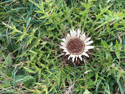 Carlina acaulis – Stemless Carline Thistle (Carlina bianca) – could be subsp. acaulis.