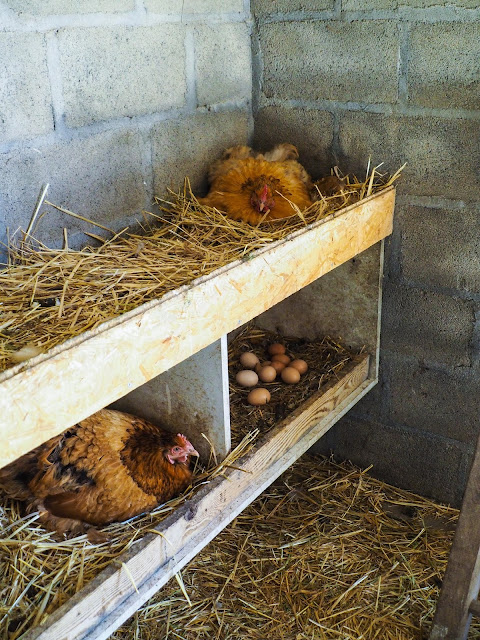 Broedse kippen