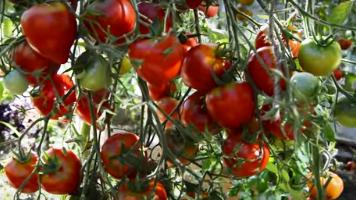 Чудо помидоры гибрид 2