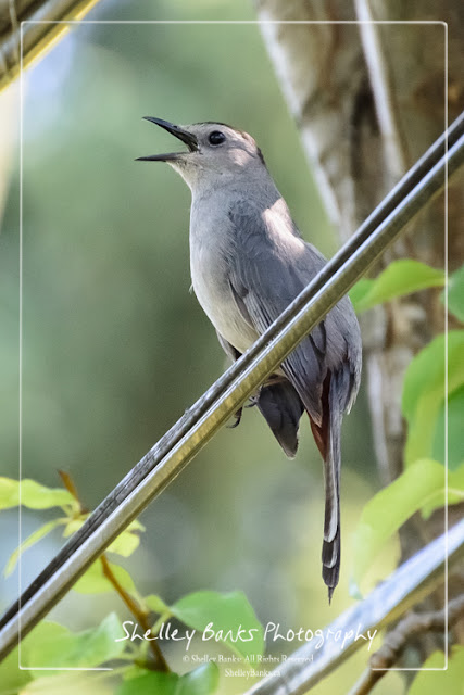Gray Catbird. Copyright © Shelley Banks, all rights reserved