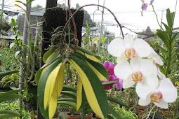 Panduan Cara Menanam Bunga Anggrek Agar Cepat Berbunga
