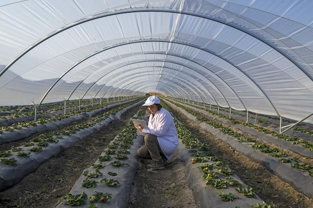 Ảnh - Những hàng cây trồng trong nhà kính
