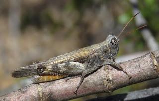 Ligurotettix coquilletti, Desert Clicker Grasshopper