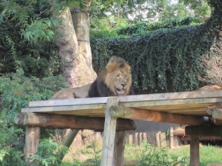 Male lion at London Zoo