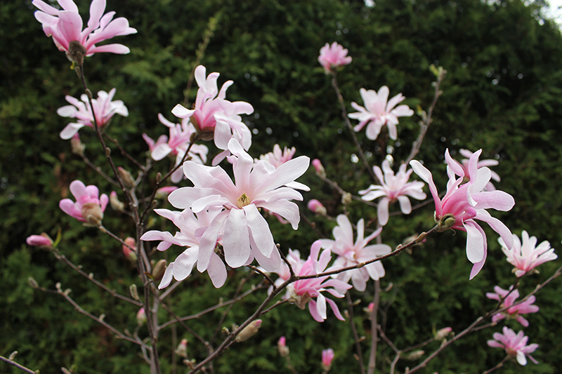 Pink star magnolia in bloom