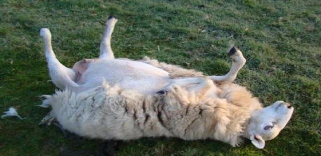 ΔΕΝ ΓΙΝΟΝΤΑΙ ΑΥΤΑ: Πρόβατα έφαγαν… χασίς! Δείτε τι συνέβη μετα…