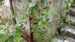 Erva cidreira brasileira - Lippia alba