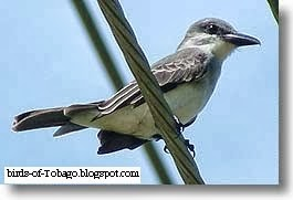 Grey Kingbird (Tyrannus dominicensis) North American migrant birds