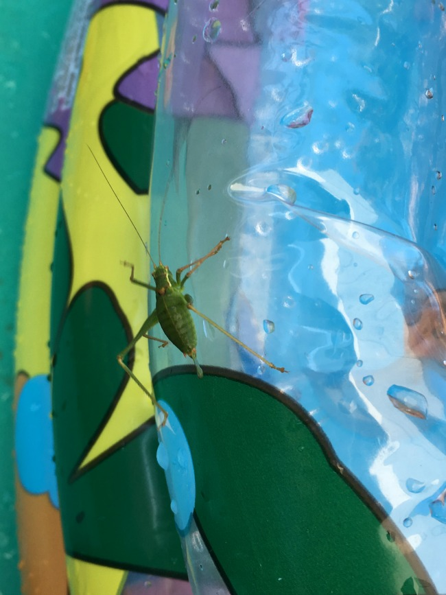 Sunshine-And-Summer-close-up-of-grasshopper-on-paddling-pool