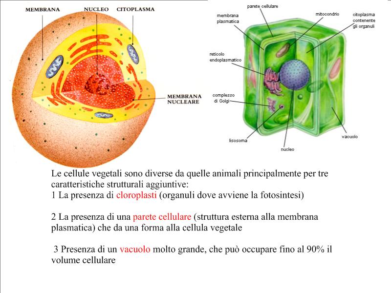 Popolare Scuola primaria PADRE MARCO D'AVIANO: Cellule vegetali e cellule  RY26